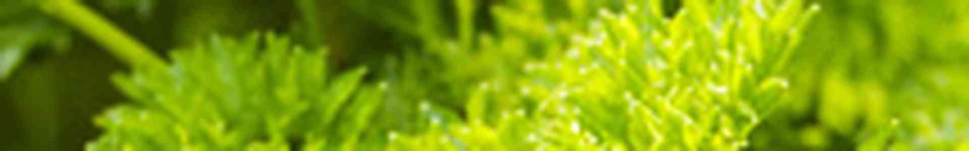 Peterselie kweken? Belangrijkste informatie!