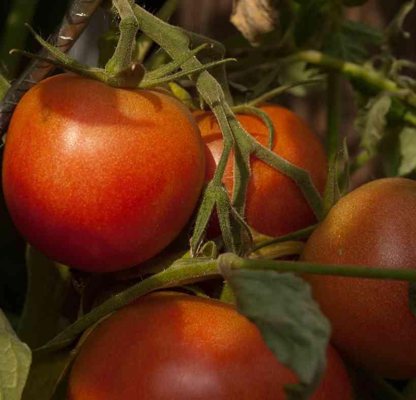Tomaten kweken van zaaien tot oogsten