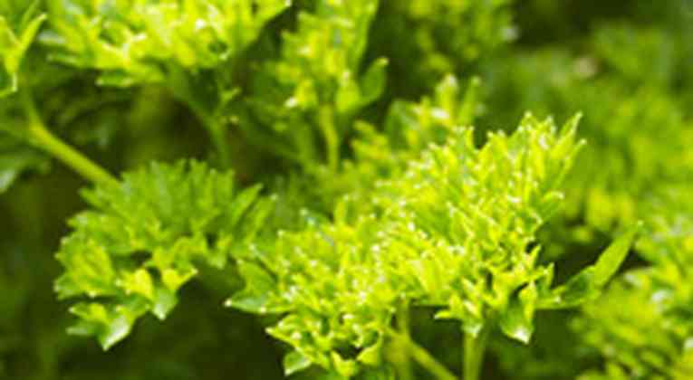Peterselie kweken