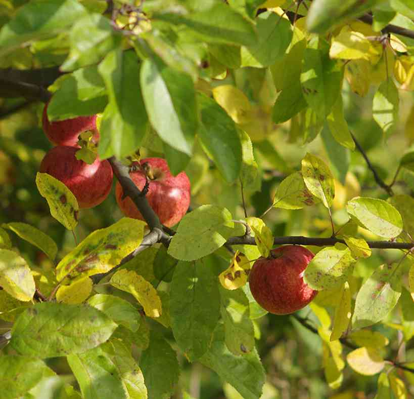 Appelcider maken